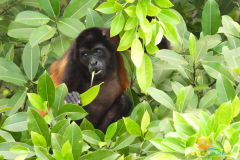 1-18-2020-11-26-Golden-Mantled-Howler-Uvita-Costa-Rica-8-min-scaled