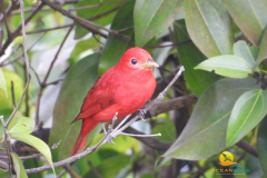 2020-10-31-Scarlet-Tanager-Uvita-Costa-Rica-4-min